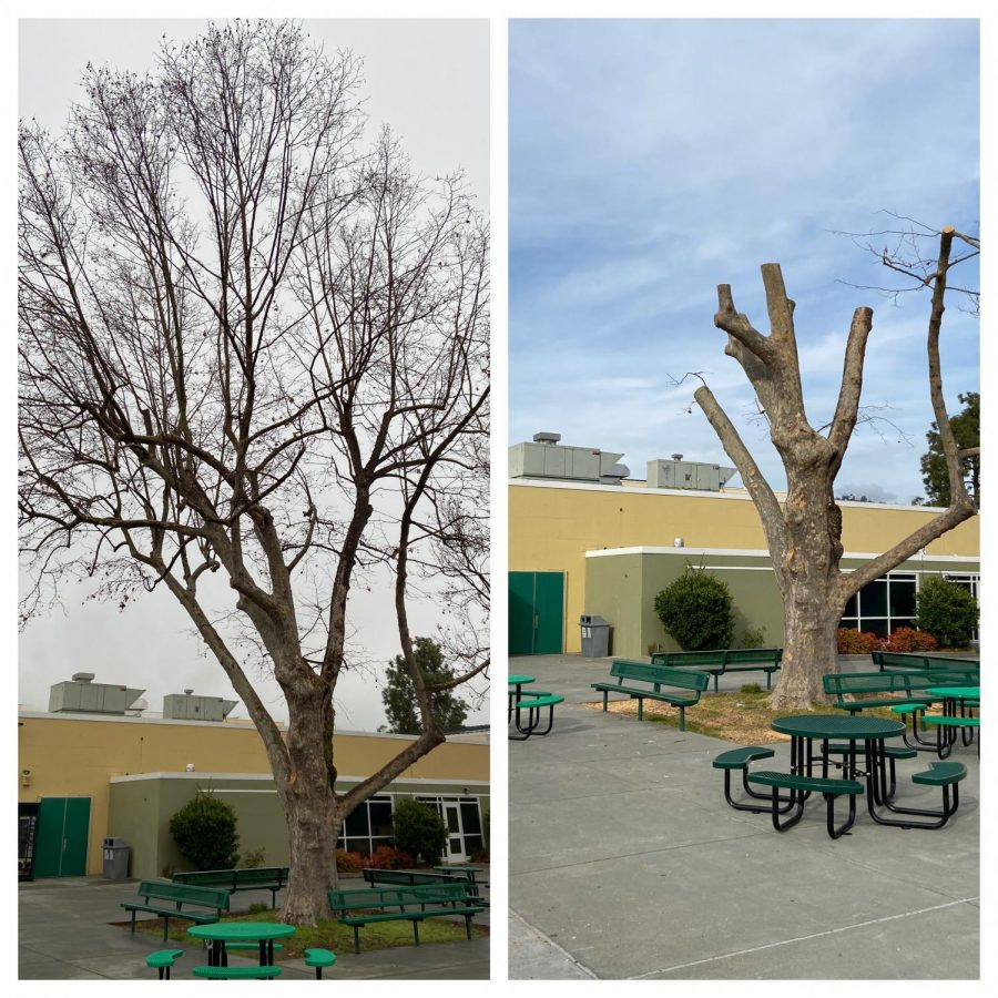 The senior tree before and after recent cuts for its health.
