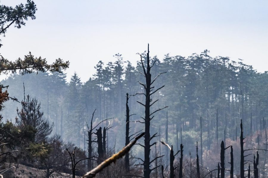 Bare, charred trees stand along a trail in Inverness from the Mount Vision Fire in 1995 and the Woodward Fire.